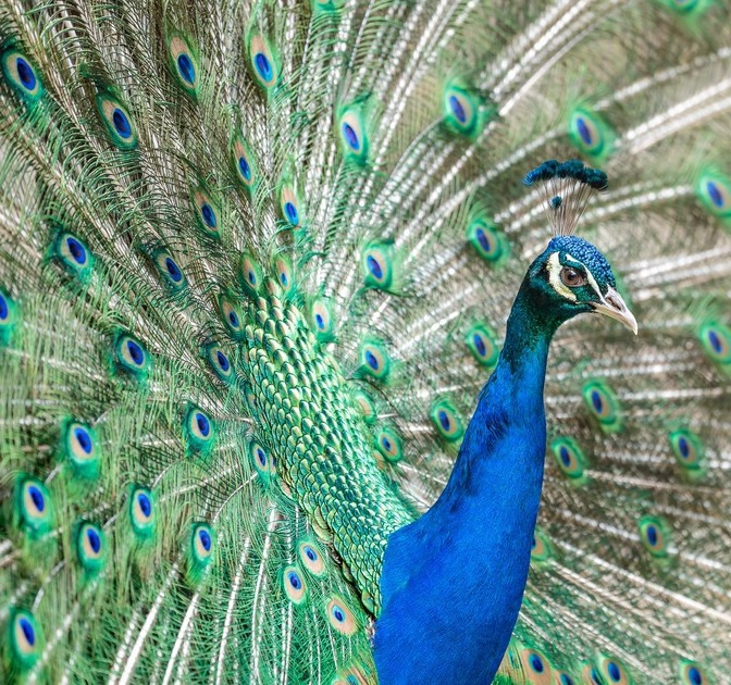 What to Know Before Getting an Emotional Support Peacock as a Pet in Bushwick